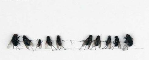 Two teams of dead flies in a game of tug of war