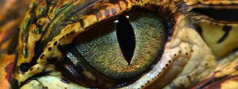 Alligator's eye